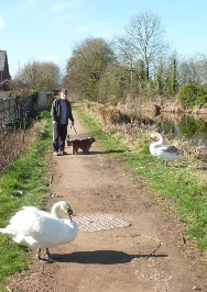 Swans guarding the towpath!
